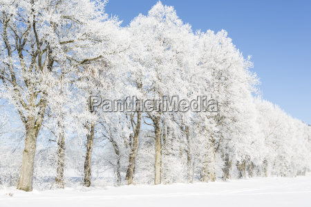 trees covered with hoarfrost and fog