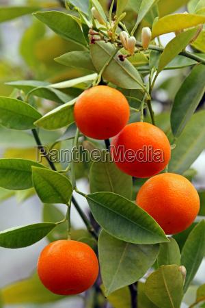 calamondin citrofortunella macrocarpa