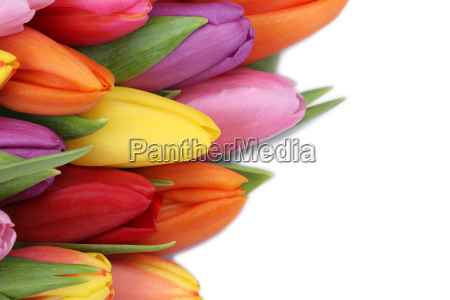 tulip flowers in spring or mothers