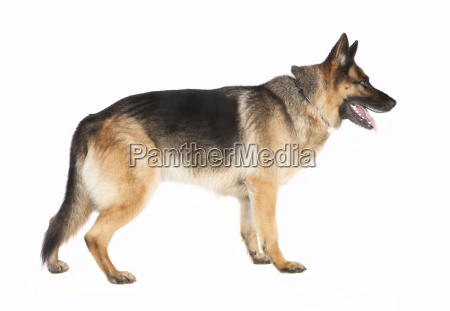 shepherd dog standing by the side