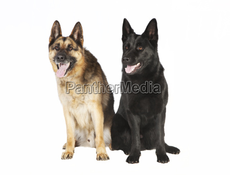 two dogs schaefer