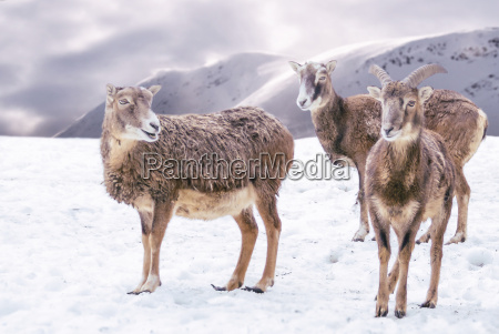 ibex in snowy mountains