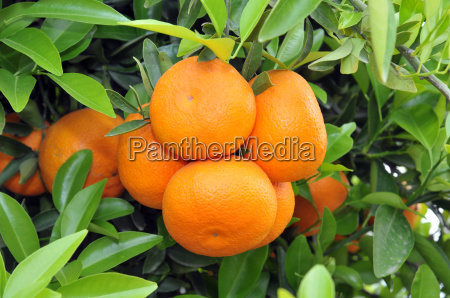 ripe oranges on the tree with