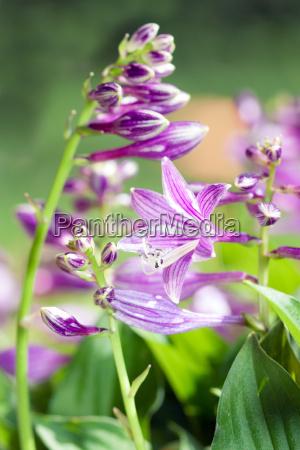 detail summer flower hosta sieboldii