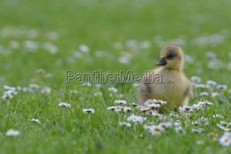greylag chicks on the meadow