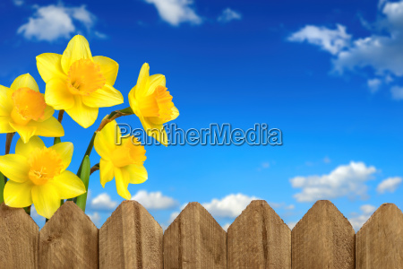 daffodils over the fence in front
