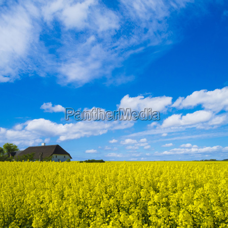 rape field with thatched farmhouse on