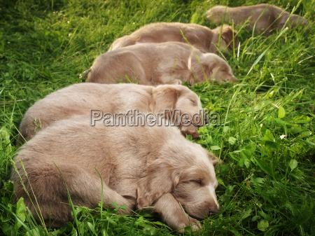 weimar hound