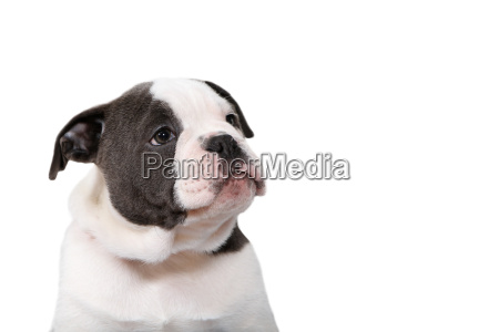 old olde english bulldog puppy looking