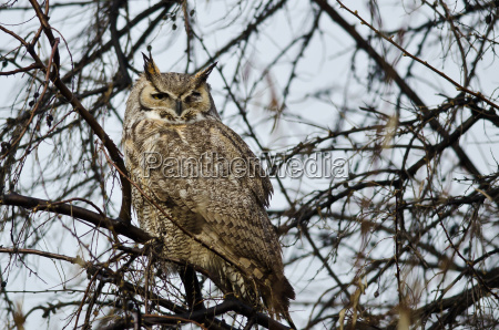 great horned owl perched in a