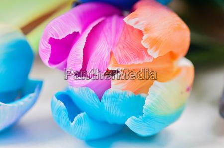 macro of multicolored tulip