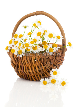 beautiful, chamomile, flowers, in, the, willow - 13755751