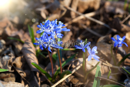 siberian blue eyed blue flowers in