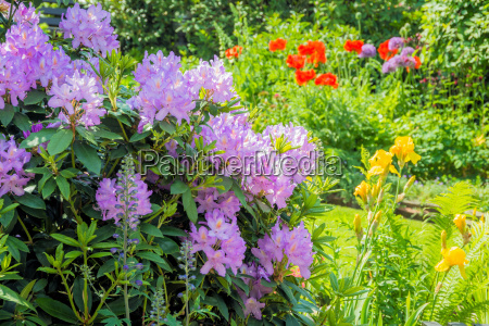 rhododendron in the blossoming garden