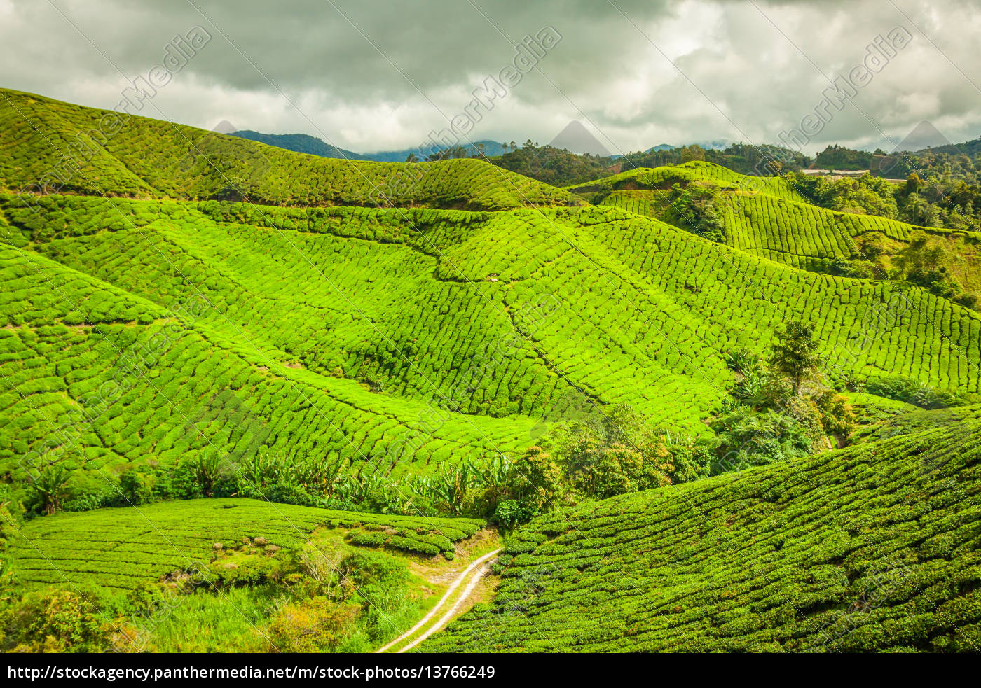 tea, plantation, at, the, cameron, highlands, malaysia, asia - 13766249