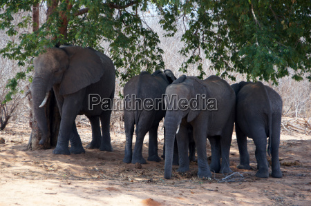 elephant central africa