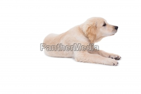 cute puppy lying down