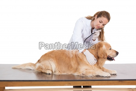 vet checking a labradors heartbeat