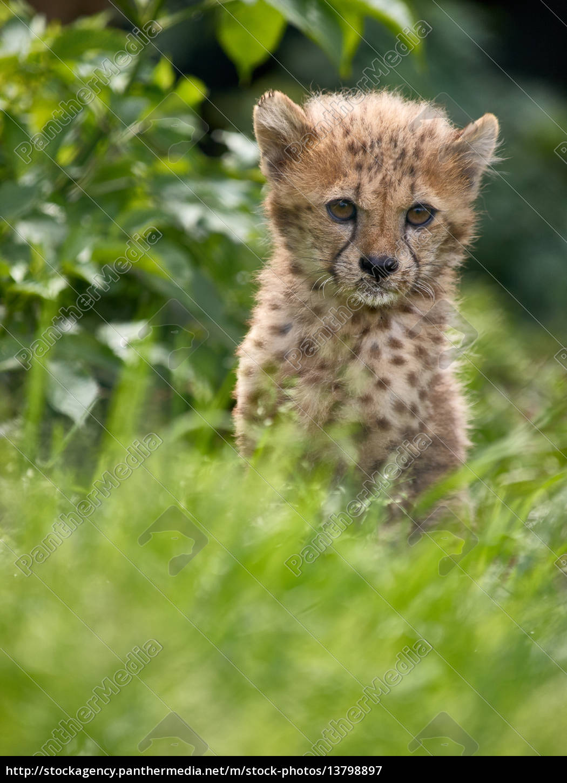 leopard, cub - 13798897