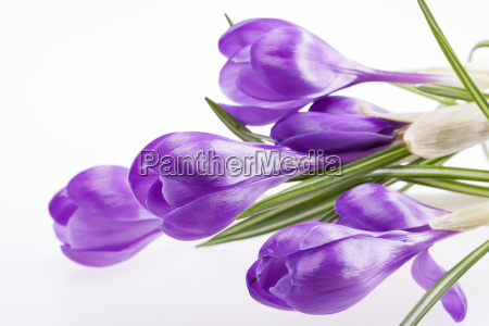 some, , flowers, of, violet, crocus - 13800181