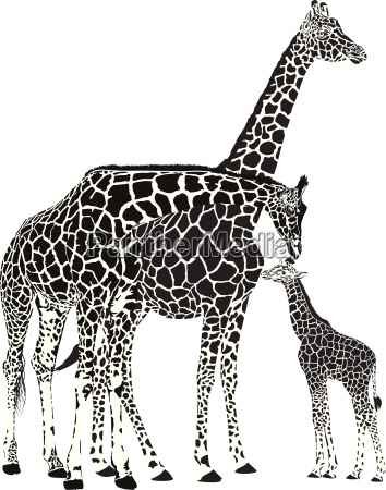 adult giraffes and baby giraffe