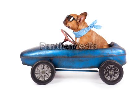 french, bulldog, in, pedal, car - 13833359