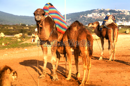 arabian camels are standing in the