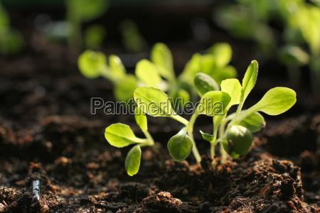 salads cultivation