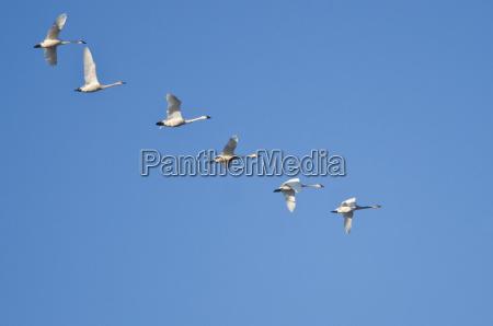 flock of trumpeter swans flying in