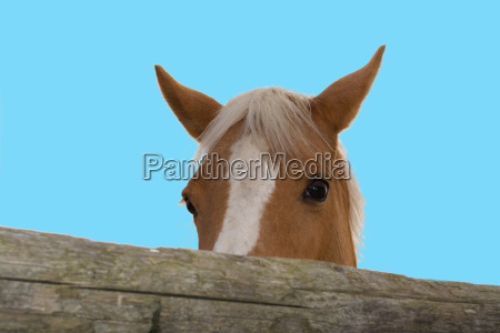 horse looks over the fence