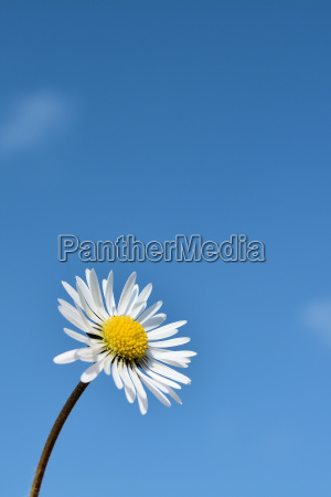daisies and blue sky in spring