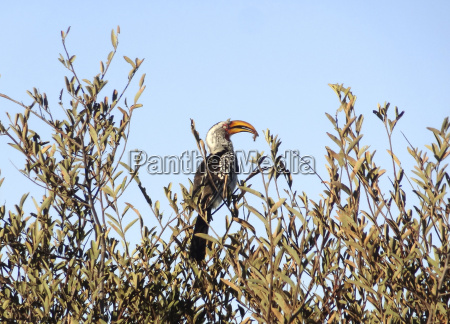 southern yellow billed hornbill