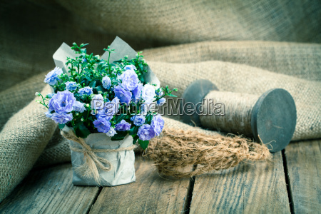 blue campanula terry flowers in paper