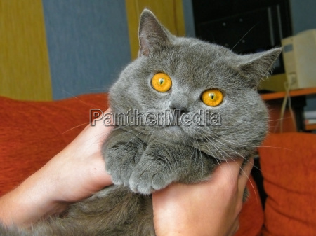 british blue cat with amber eyes