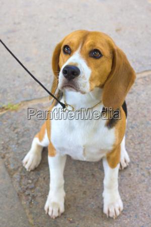 dog beagle breed sitting on the