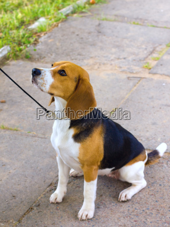 dog beagle breed sits on the