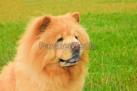 dog chow chow breed