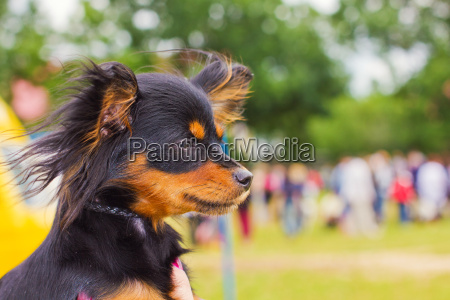 dog russian toy terrier breed