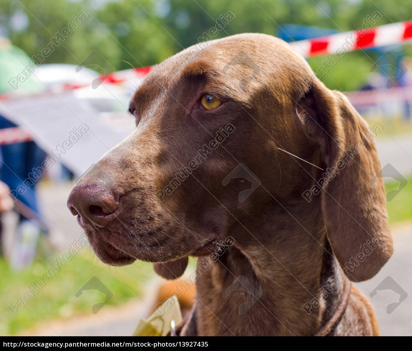 close-up, portrait, of, the, dog, deutsch - 13927435
