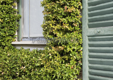 climbing plant and window shutter france
