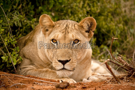 lioness gazing at viewer lying down