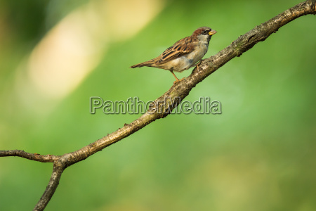 house sparrow passer domesticus on a