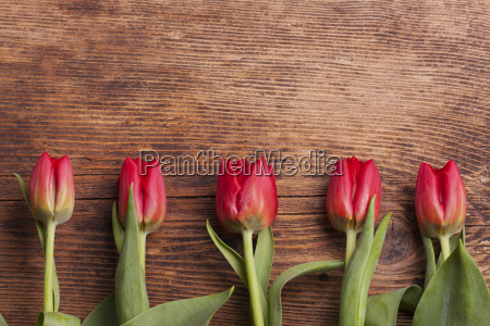 row of tulips on dark wood