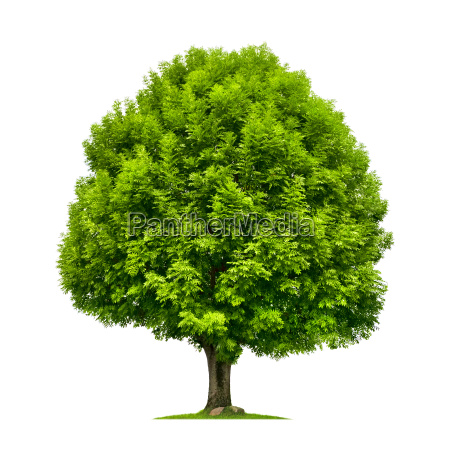 perfect tree an ash tree on