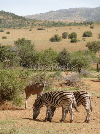 zebras and antelopes in south africa
