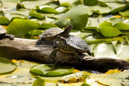 turtles on a log green lake