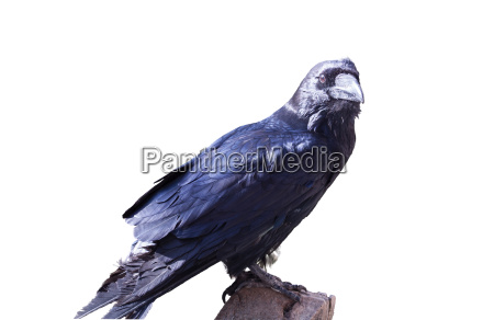 free spaced raven
