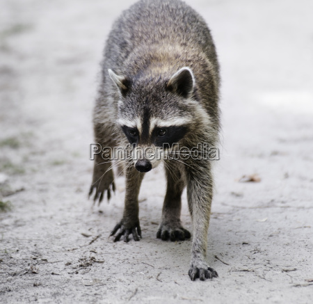 raccoon walking
