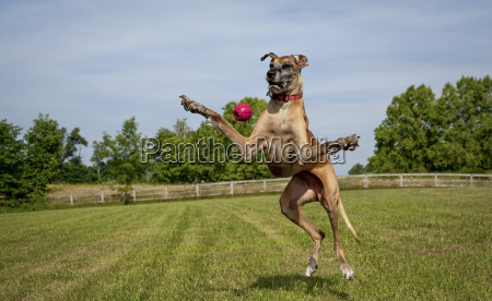 silly great dane on hind legs