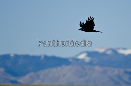 black common raven and snow covered